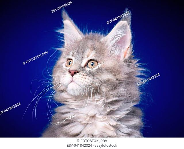 Funny Maine Coon kitten 2 months old looking away. Close-up studio photo of gray little cat on blue background. Portrait of beautiful domestic kitty