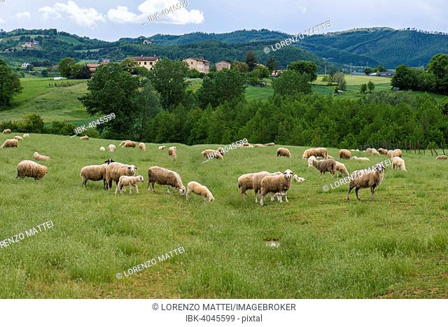 Sheep on the meadow, Mount Cucco, Umbria, italy