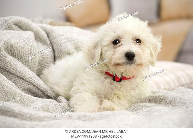 Bichon Frise puppy indoors