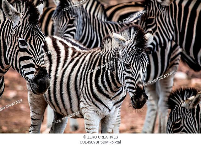 Herd of Zebra (Equus quagga), Touws River, Western Cape, South Africa