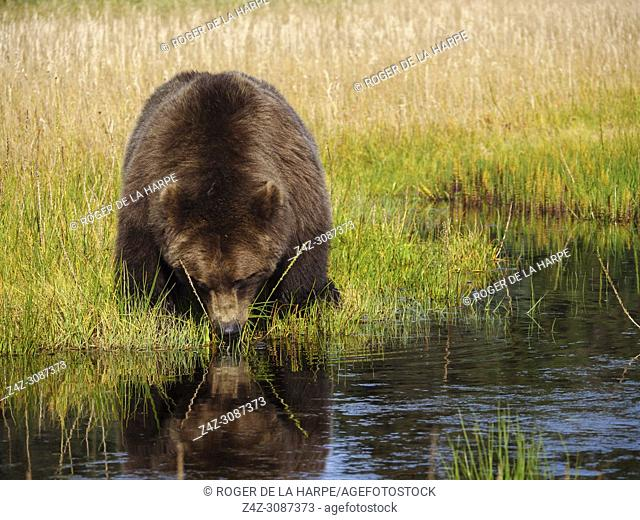 Coastal brown bear, also known as Grizzly Bear (Ursus Arctos) feeding on grass. South Central Aaska. United States of America (USA)