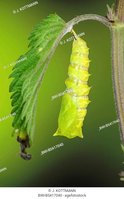 Peacock butterfly, European Peacock (Inachis io, Nymphalis io), pupation, serial photo 9/9, Germany
