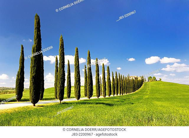 Path with row of cypress trees leading to farmhouses, Val d'Orcia, Orcia Valley, Fields and cypress trees, Tuscany Landscape, UNESCO world heritage site, Pienza