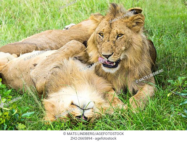 Three male lions lying in the grass, resting together and one licking his mouth, Masai mara, Kenya, Africa