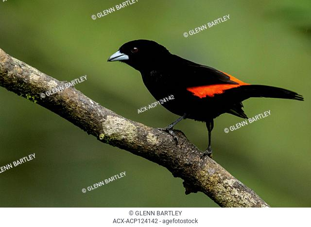 Flame-rumped Tanager (Ramphocelus flammigerus) perched on a branch in the Andes mountains in Colombia