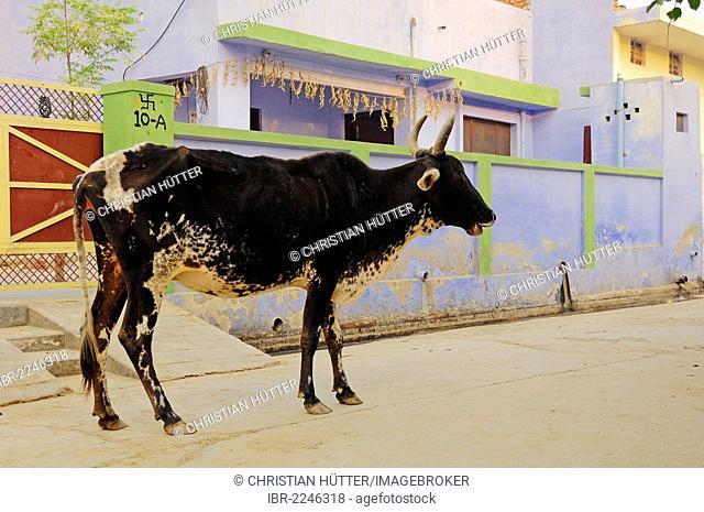 Zebu cattle (Bos primigenius indicus), on the road, holy cow, Bharatpur, Rajasthan, India, Asia, PublicGround