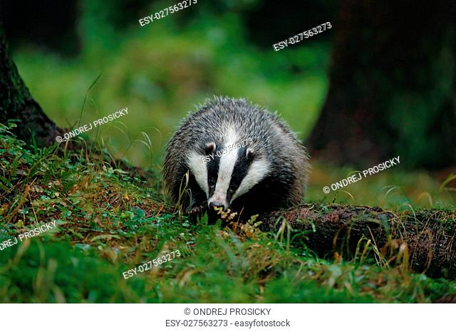 European badger in the forest. Animal in the nature habitat, Ger
