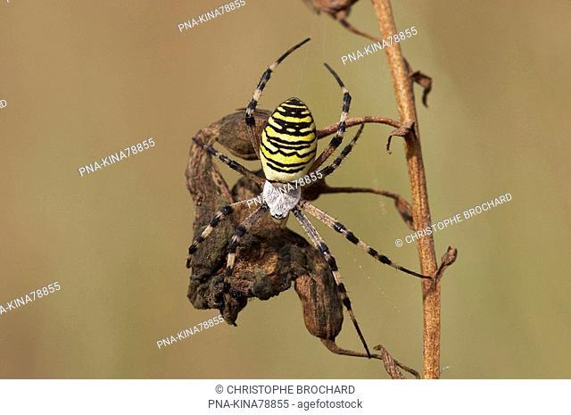 wasp spider Argiope bruennichi - Vorden, Achterhoek, Guelders, The Netherlands, Holland, Europe