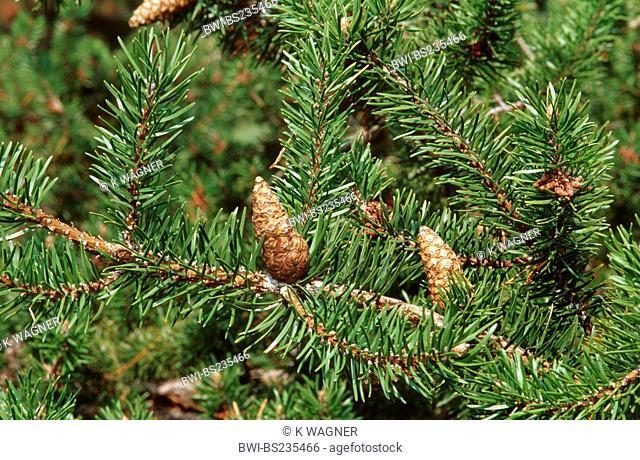 Pinus arctica Pinus arctica, twig with cones