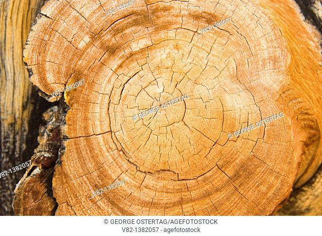 Bristlecone pine cut showing tree rings, Ancient Bristlecone Pine Forest, Ancient Bristlecone National Scenic Byway, Inyo National Forest, California