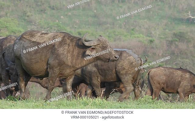 African Buffalo Syncerus Caffer herd. Hluhluwe Imfolozi, South Africa