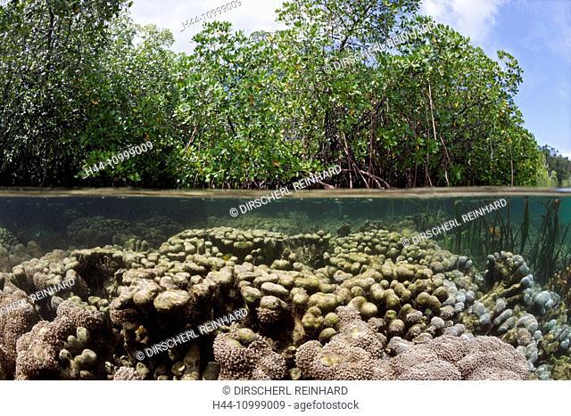 Corals growing under Mangroves, Raja Ampat, West Papua, Indonesia