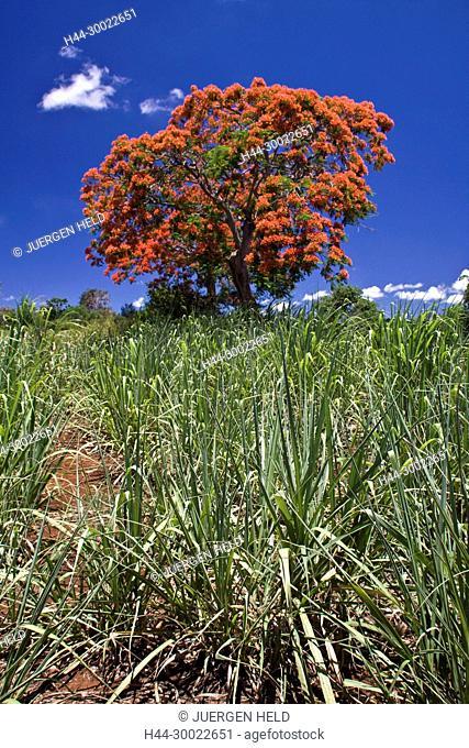 Flame Tree, Flamboyant, Royal Poinciana, sugar cane fields, Mauritius, Africa