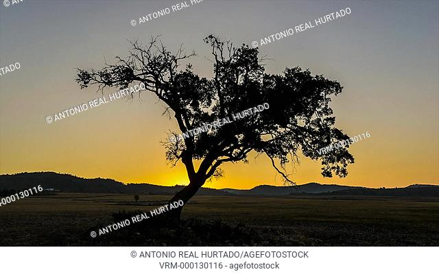Tree at sunrise. Almansa. Albacete province. Spain