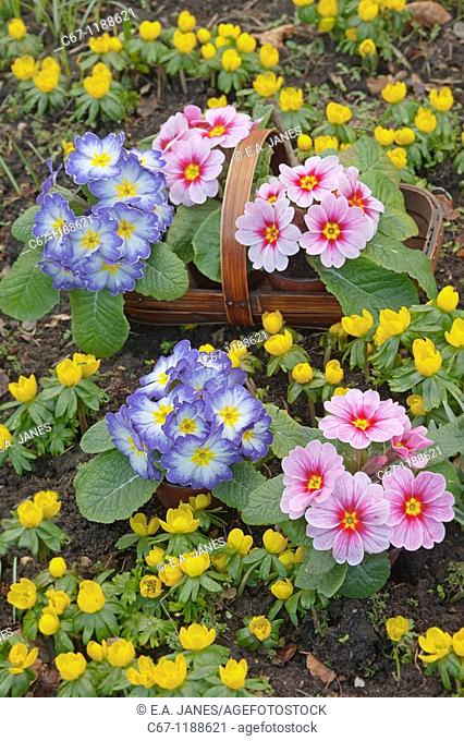 Polyanthus in Garden Setting Norfolk february