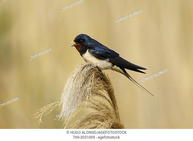 Swallow (Hirundo rustica). Ebro Delta, Catalonia, Spain