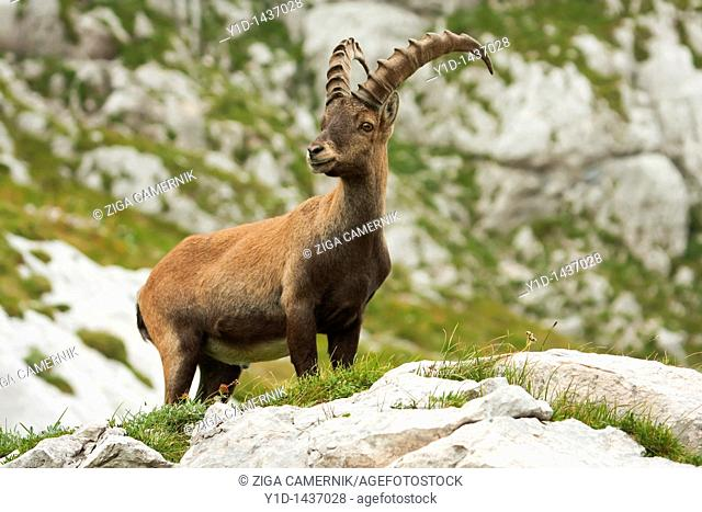 Alpine Ibex Capra ibex on rock in Slovenian Alps