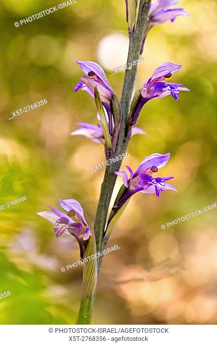 Violet limodore orchid (Limodorum abortivum) in flower in a woodland. Photographed in Israel in March