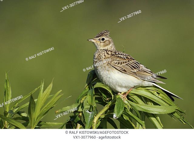 Skylark (Alauda arvensis ) perched on an exposed plant, full body, side view, wildlife, Europe