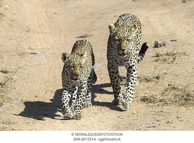 Africa, Southern Africa, South African Republic, Mala Mala game reserve, savannah, African Leopard (Panthera pardus pardus), female and young