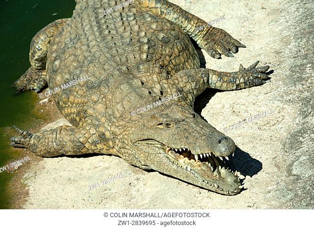 Nile Crocodile (Crocodylus niloticus) with open jaws, Agatha Crocodile Ranch, Agatha, Tzaneen district, Limpopo province, South Africa