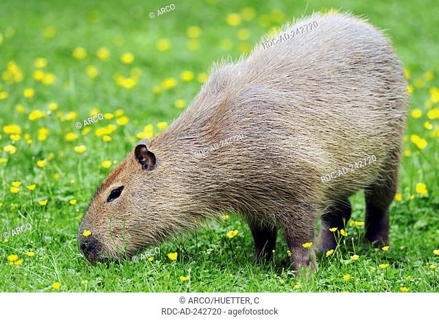 Capybara Hydrochoerus capybara Hydrochaeris hydrochaeris Carpincho