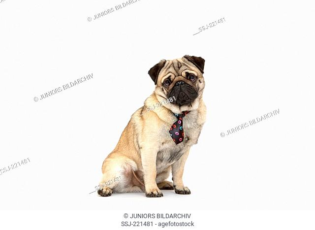 Pug. Adult male sitting, wearing a tie with kissing lips print. Studio picture against a white background