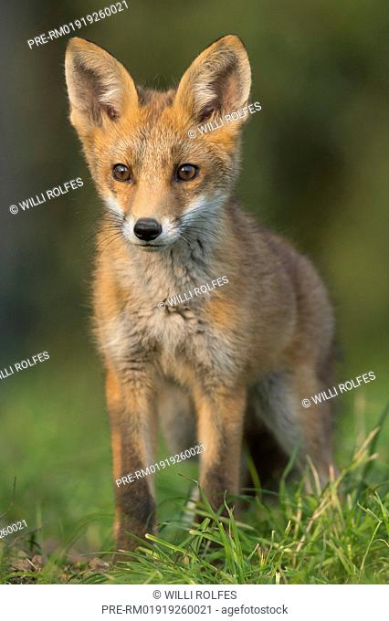 Juvenile Red Fox, Vulpes vulpes, Vechta district, Niedersachsen (Lower Saxony), Germany / Junger Rotfuchs, Vulpes vulpes, Landkreis Vechta, Niedersachsen