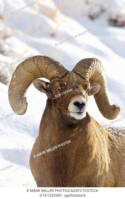 Bighorn Ram in Snow Yellowstone National Park USA