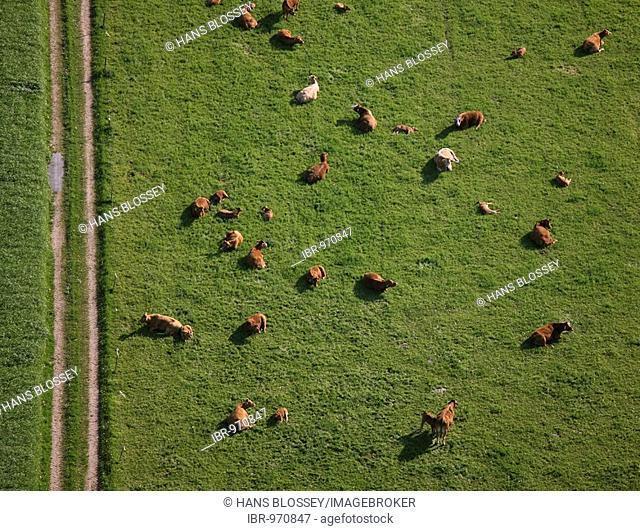 Aerial picture, cows, pasture, Lower Rhine scenery, Straelen, North Rhine-Westphalia, Germany, Europe