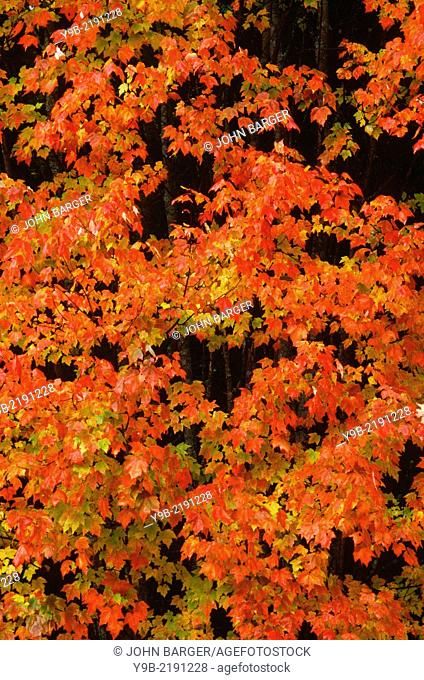 Autumn color of sugar maple (Acer saccharum) dominates northern hardwood forest, near Dixville Notch, northern New Hampshire, USA