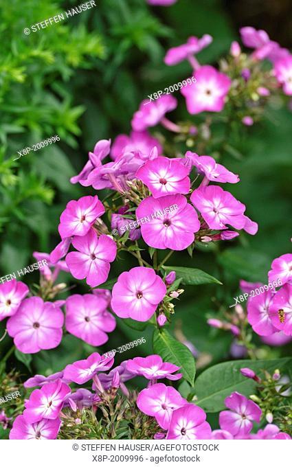 Garden phlox (Phlox paniculata 'Wilhelm Kesselring')