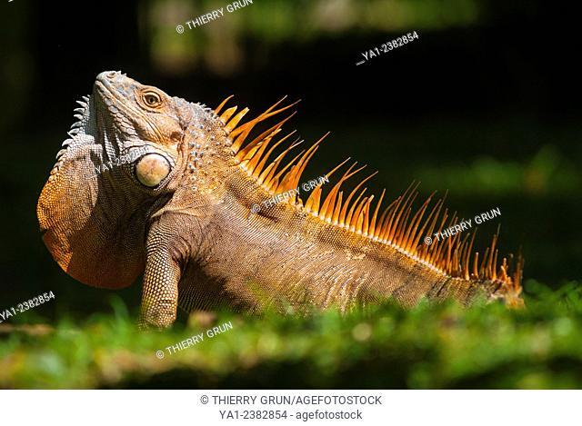 Costa Rica. National park of Tortuguero, green male iguana iguana iguana in rute and become orange in breeding season