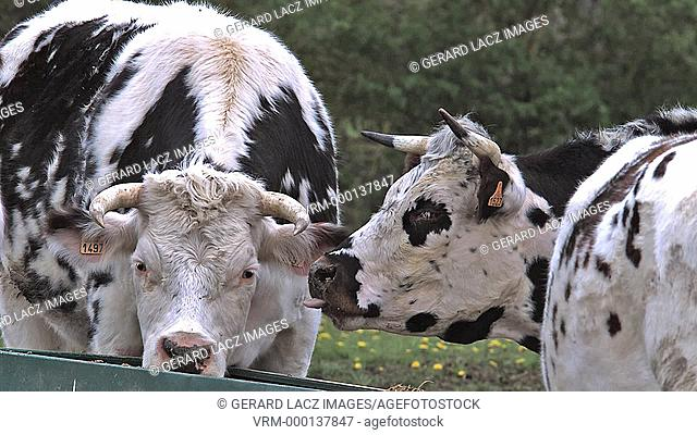 Normandy Cattle, Cows eating Grass, Normandy, Real Time