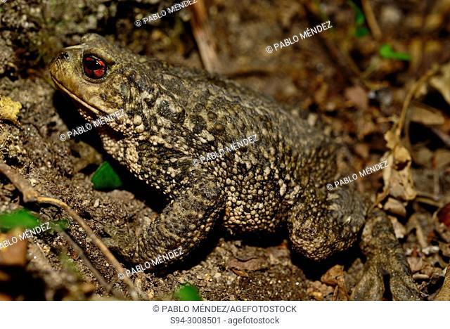 Common toad (Bufo spinosus) in San Xoan de Rio, Orense, Spain