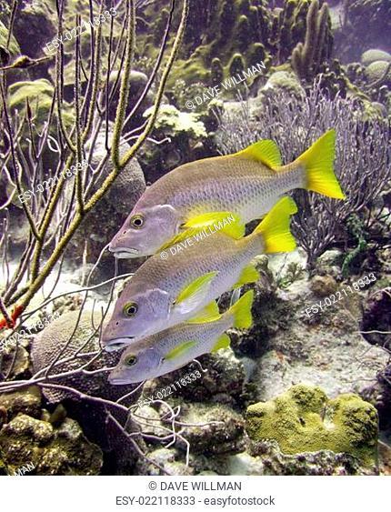 schoolmaster tropical fish