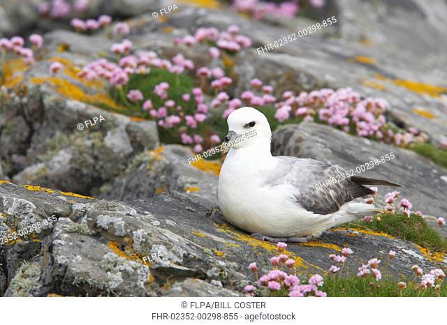 Northern Fulmar Fulmaris glacialis adult, sitting on thrift covered clifftop, Mousa Island, Shetland Islands, Scotland