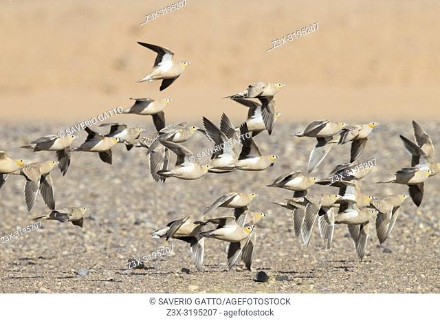 Crowned Sandrgouse (Pterocles coronatus), a flock in flight mixed with Spotted Sandgrouse