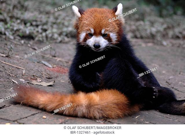 Lesser Panda or Red Panda (Ailurus fulgens) sitting and preening itself in a research and breeding centre, Chengdu, Sichuan, China, Asia