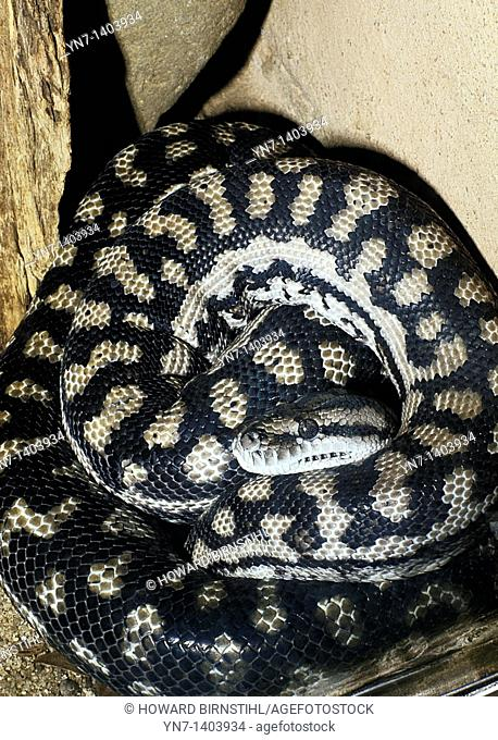 Close up of a diamond python Morelia spilota curled up in its nest probably sleeping off a large feed