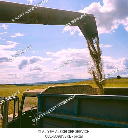 Combine harvester pouring cereal grain into truck