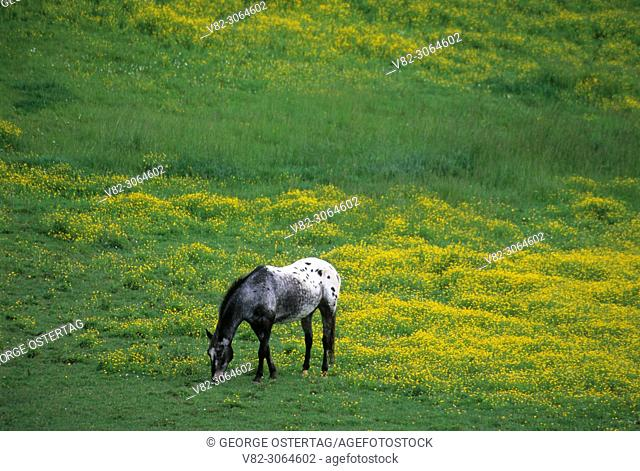 Grazing horse, Broadbent, Rogue-Coquille National Scenic Byway, Oregon