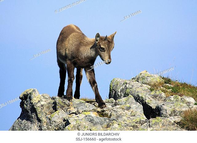 Alpine ibex - cub standing on rocks / Capra ibex