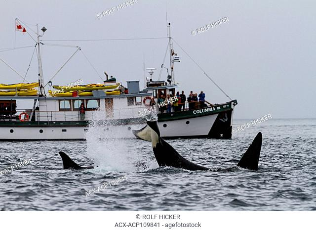 Columbia III whale watching killer whales (Orcinus orca), British Columbia Canada