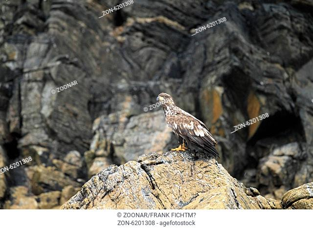 Seeadler Norwegen