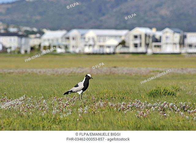 Blacksmith Plover Vanellus armatus adult, standing in habitat with buildings in background, Port Elizabeth, Eastern Cape, South Africa