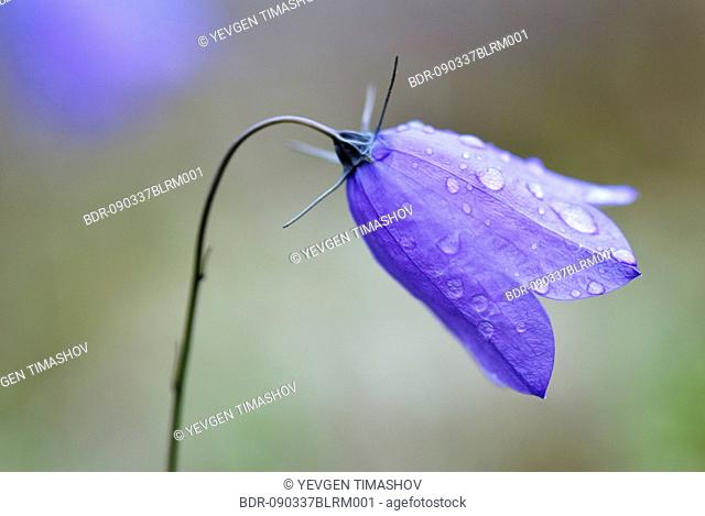 close-up of harebell