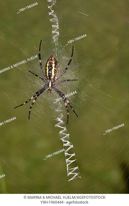 Black-and-yellow Garden Spider; Argiope bruennichi; Geesthacht; Schleswig-Holstein; Germany