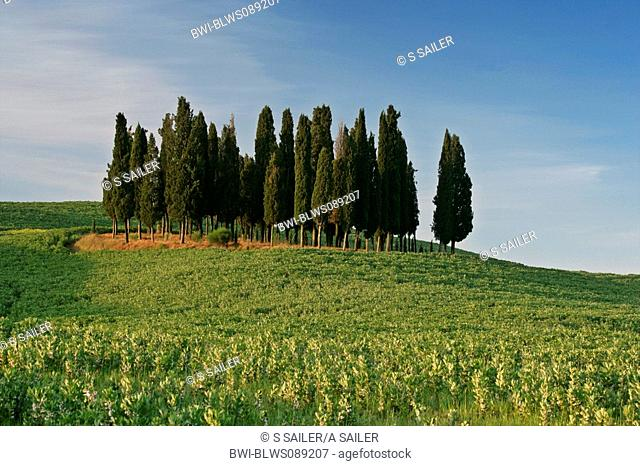 Italian cypress Cupressus sempervirens, grove amidst a hilly field landscape, Italy, Tuscany, Val d Orcia