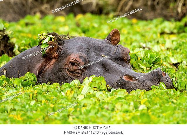 Kenya, Masai Mara game Reserve, Hippopotamus (Hippopotamus amphibius), in water lettuces